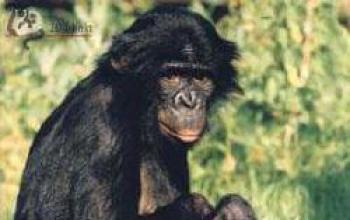 Le Grandi Scimmie Antropomorfe