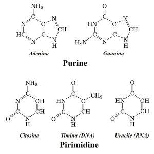 Le 4 basi di cui è formato il DNA, più l'uracile per l'RNA, costituiscono il linguaggio di base con cui è scritto il software della vita.