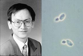 Il professor Lin e di alcune cellule di lievito in fase di gemmazione