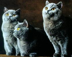 Dei bellissimi gatti British Shorthair