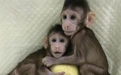 In Cina clonate due scimmiette