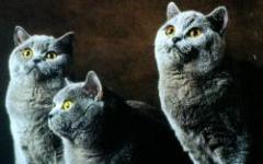 Arriva il gatto anallergico